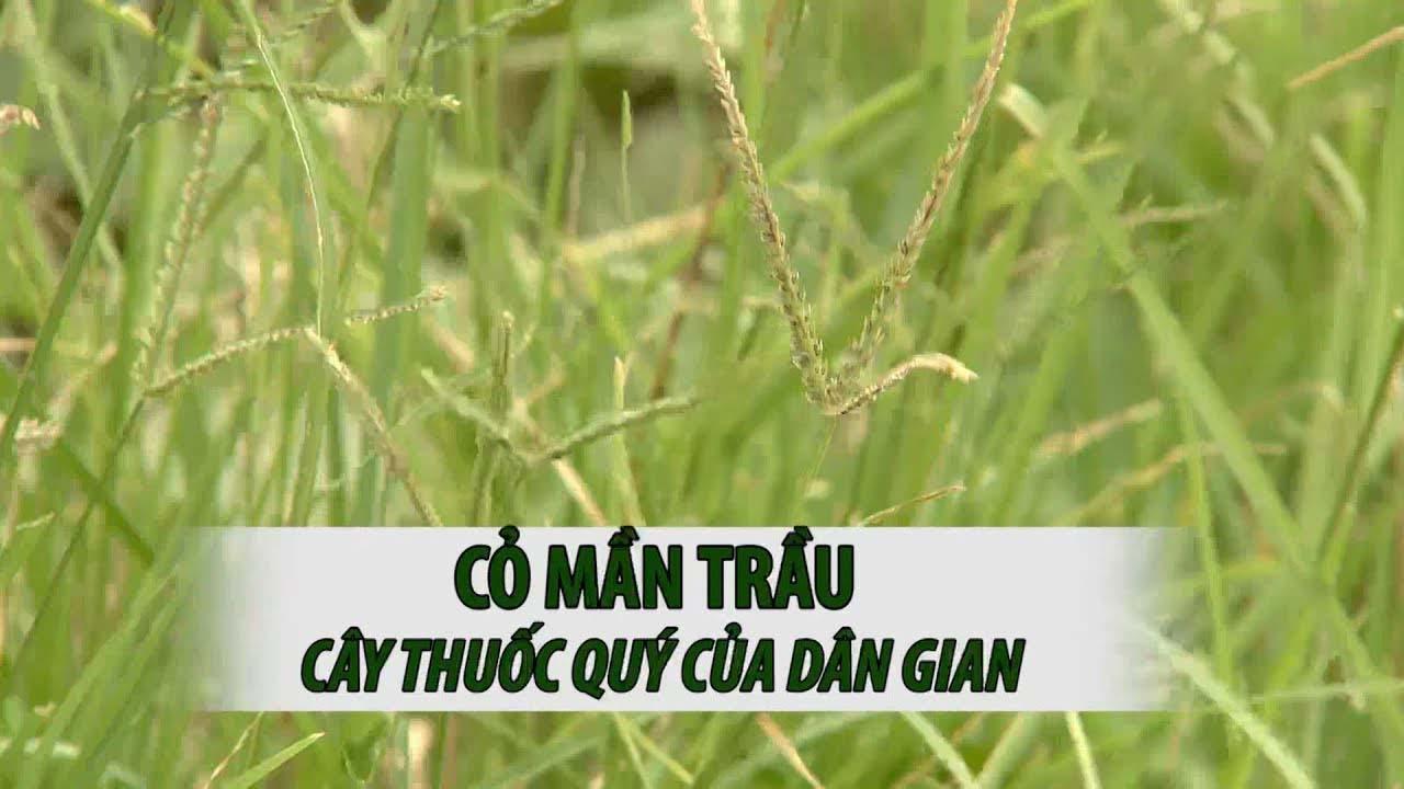 cỏ mần trầu chữa rụng tóc
